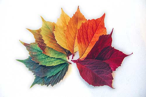 A rainbow spread of Oak tree leaves from green to yellow, orange and red